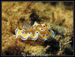 Chromodoris geminus by Andr&#233; Bruchez 